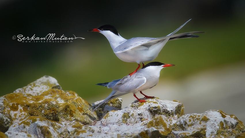 Sumru, Common tern, Sterna hirundo