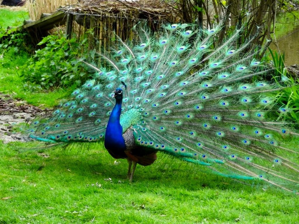 gambar burung merak nama hewan dari huruf M