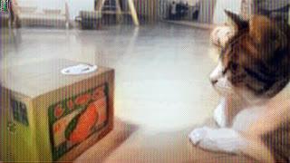 Gato observando una caja