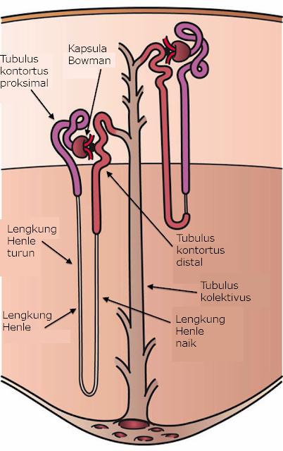 Gambar anatomi nefron di dalam ginjal
