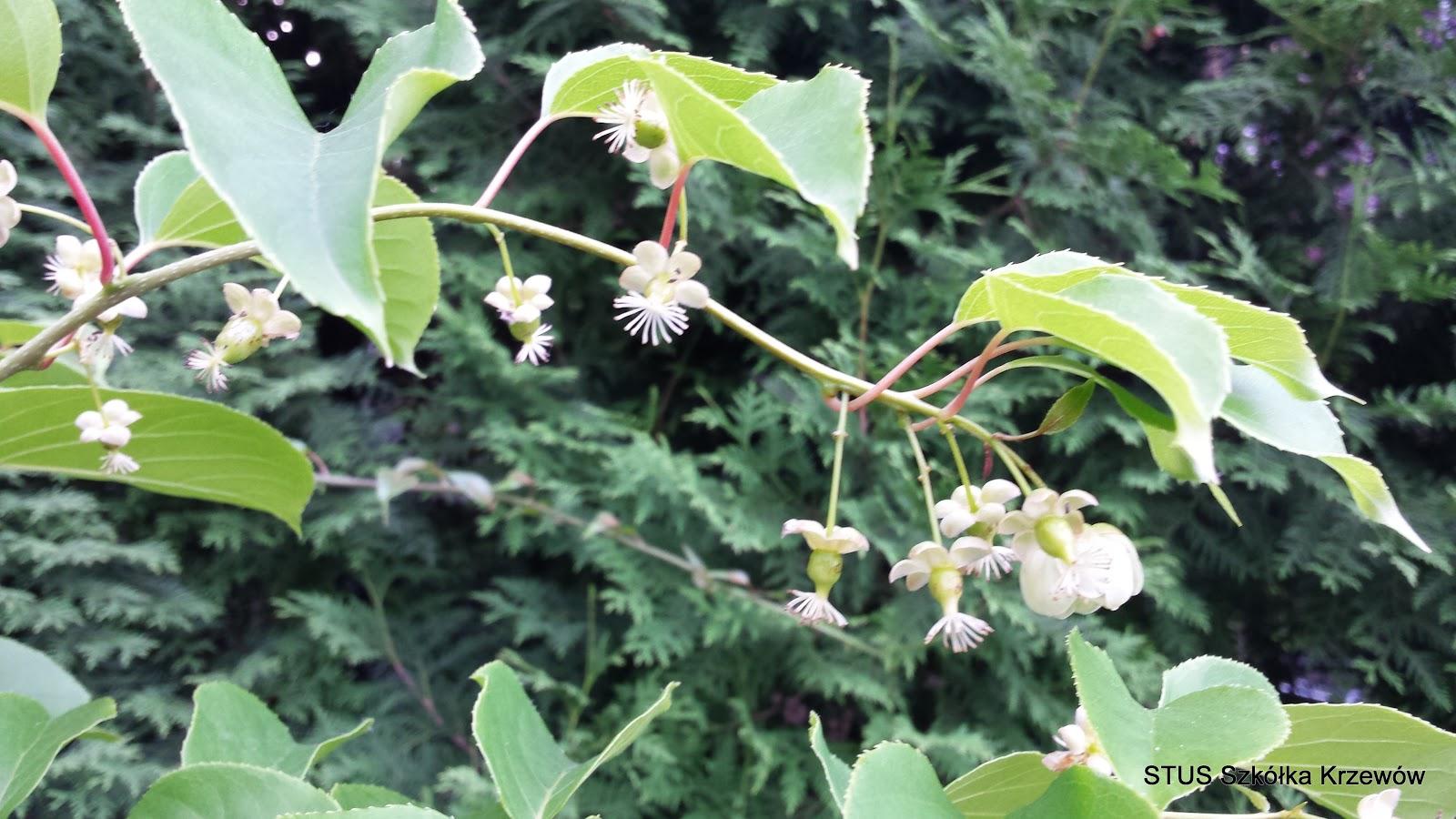 Ogrodniczy Blog Aktinidia Ostrolistna Issai
