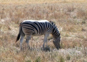 A Zebra disguised in the background as it eating grass