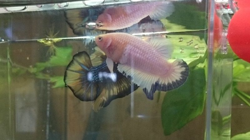 Image Betta Breeding Tank