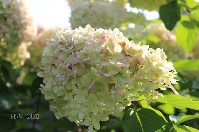 Der Rabe im Schlamm, Rispenhortensie, Hydrangea, In meinem Garten, in my garden, garden, Garten