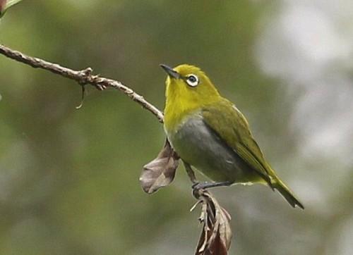Jenis-Jenis Burung Pleci