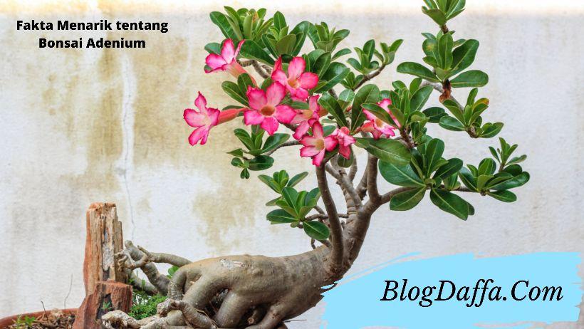 Fakta menarik bonsai adenium
