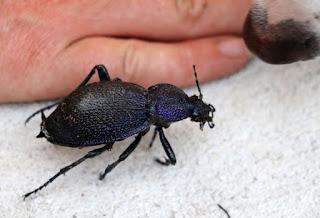 A huge (dead) beetle plus Thelma's nose