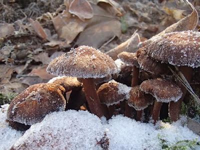 grzyby 2016, grzyby w grudniu, grzyby w zimie, zimowe grzybobranie, maślanka ceglasta Hypholoma lateritium, zimówka aksamitnotrzonowa Flammulina velutipes, uszak bzowy Auricularia auricula-judae, kisielnica kędzierzawa. Exidia nucleata