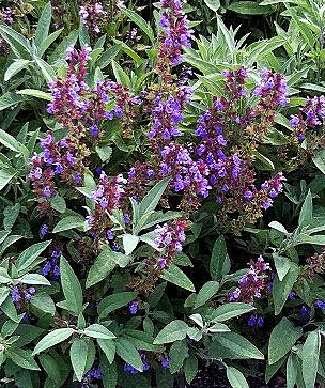sage medicinal plant