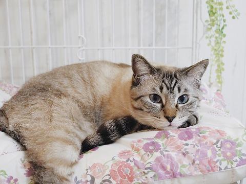 花柄カバーのベッドの上でくつろいでいるシャムトラ猫