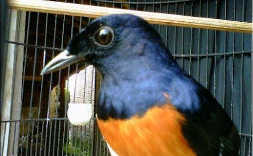 Sudah usang tidak update bunyi burung murai nan elok Keren Suara Murai Beraneka Rasa