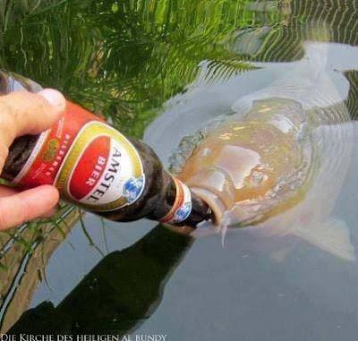 Großer Fisch schaut aus dem Wasser Angeln mit Amstel Bier lustig - Niederländisches Bier und Fisch