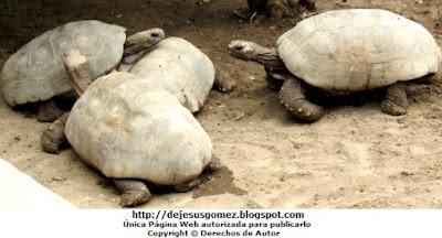 Tortugas motelo amarilla del Parque Zoológico de Huachipa. Foto de tortugas tomada por Jesus Gomez