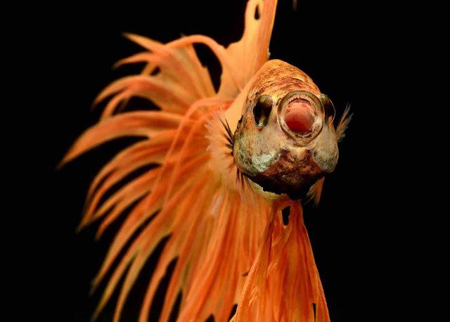 Green Pear Diaries, fotografía, wildlife photography, Visarute Angkatavanich, pez beta, Luchador de Siam