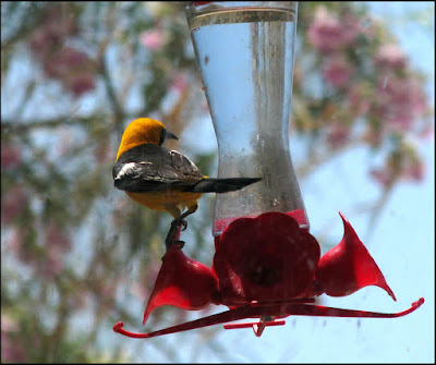 bird,hooded oriole,desert,hummingbird feeder