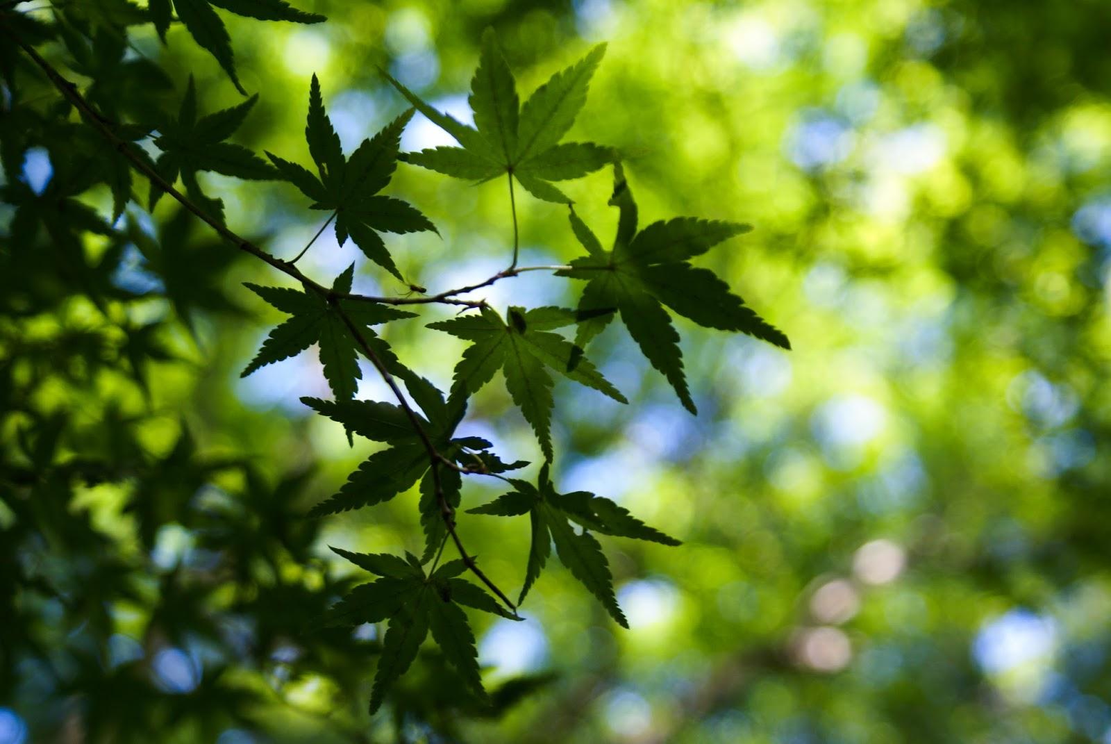 arashiyama kyoto japan gioji zen maple leaf spring