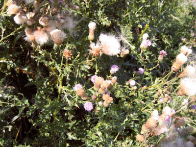 Canada thistle seed heads and blossoms