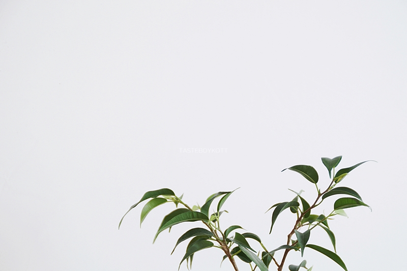 DIY: Birkenfeige/ Ficus Natasja aus Zweig ziehen - Pflegeleichte, dekorative Zimmerpflanze mit Steckling im Wasser selberziehen + pflegen
