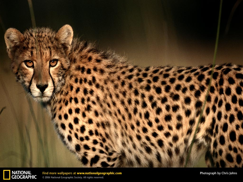 East-Southern African cheetah