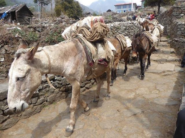muli lungo il sentiero per phakding
