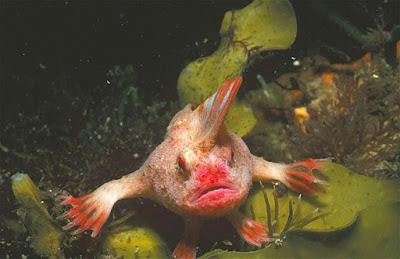 Red Handfish Tasmania