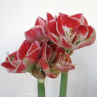 Hippeastrum, amaryllis, flowers fully open