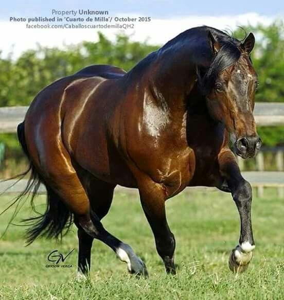 Cavalo   Equus ferus caballus
