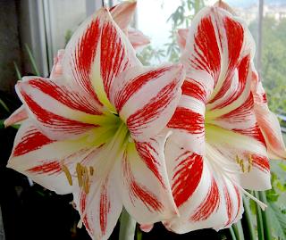 https://fr.wikipedia.org/wiki/Amaryllis_(plante)