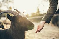 keuntungan bisnis ternak kambing, ternak kambing, usaha ternak kambing, harga kambing, kambing, usaha kambing