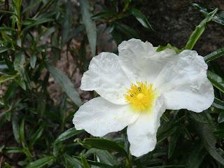 Jara pringosa (Cistus ladanifer)
