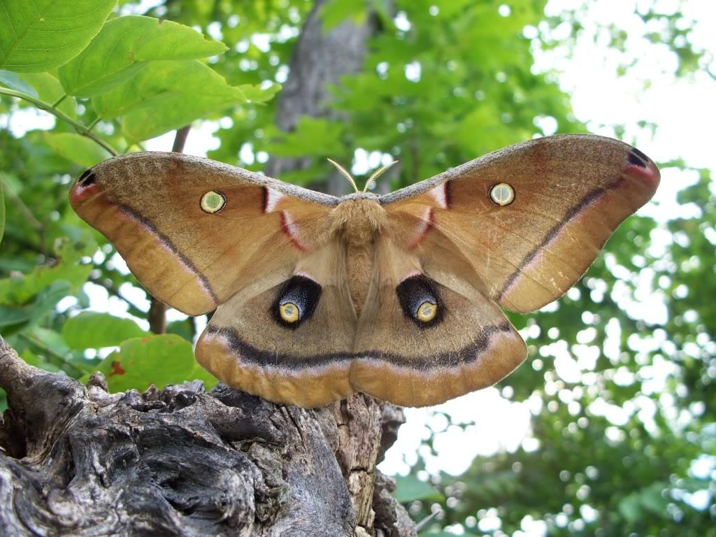 Image of a polyphemus moth.