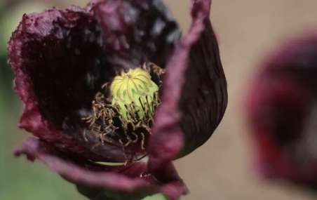 Midnight Poppy Flower