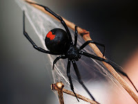 Black Widow Spider Animal Pictures