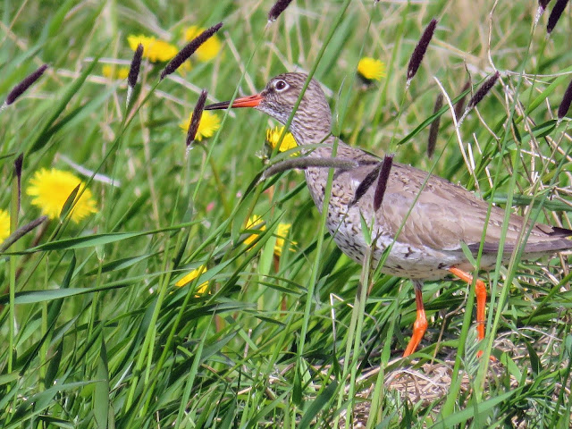 Shorebird hiding among the grass and flowers on the Seltjarnarnes Peninsula in Reykjavik Iceland