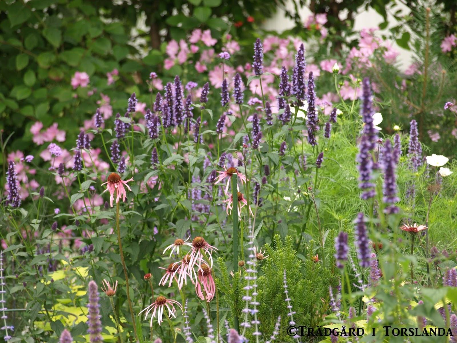 Trädgård i torslanda: agastache