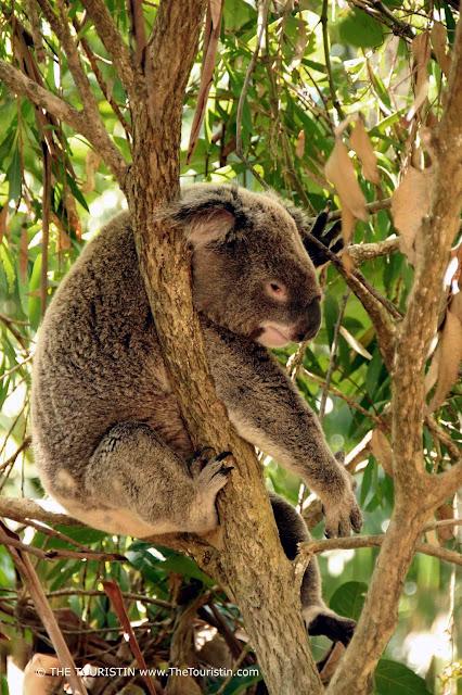Koala with open eyes sitting in a Eucalyptus tree.