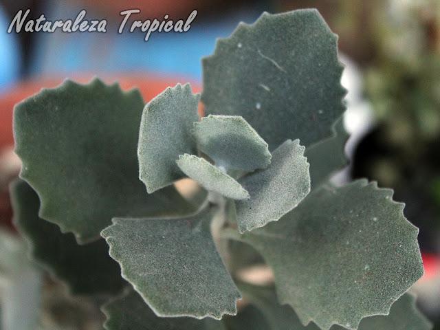 Kalanchoe millotii es muy apreciado por sus hojas y tallos cubiertos de pelos blanquecinos dándole tonalidades grisáceas
