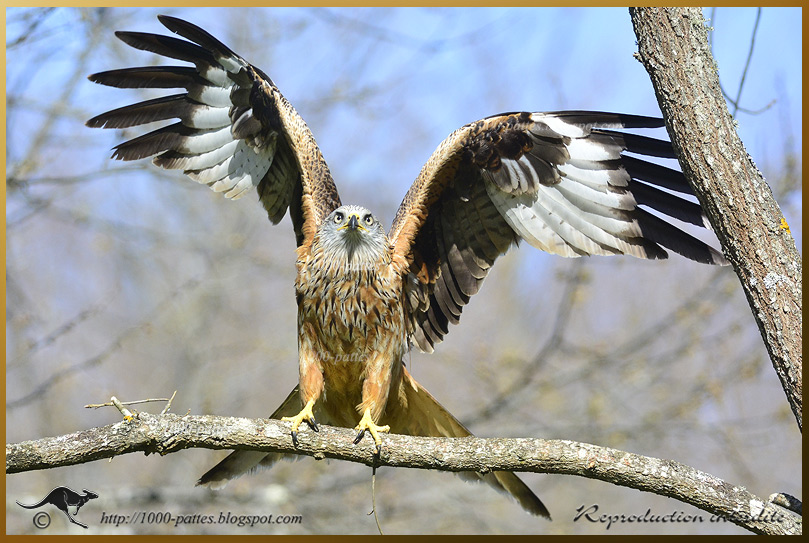 Red kite showing off