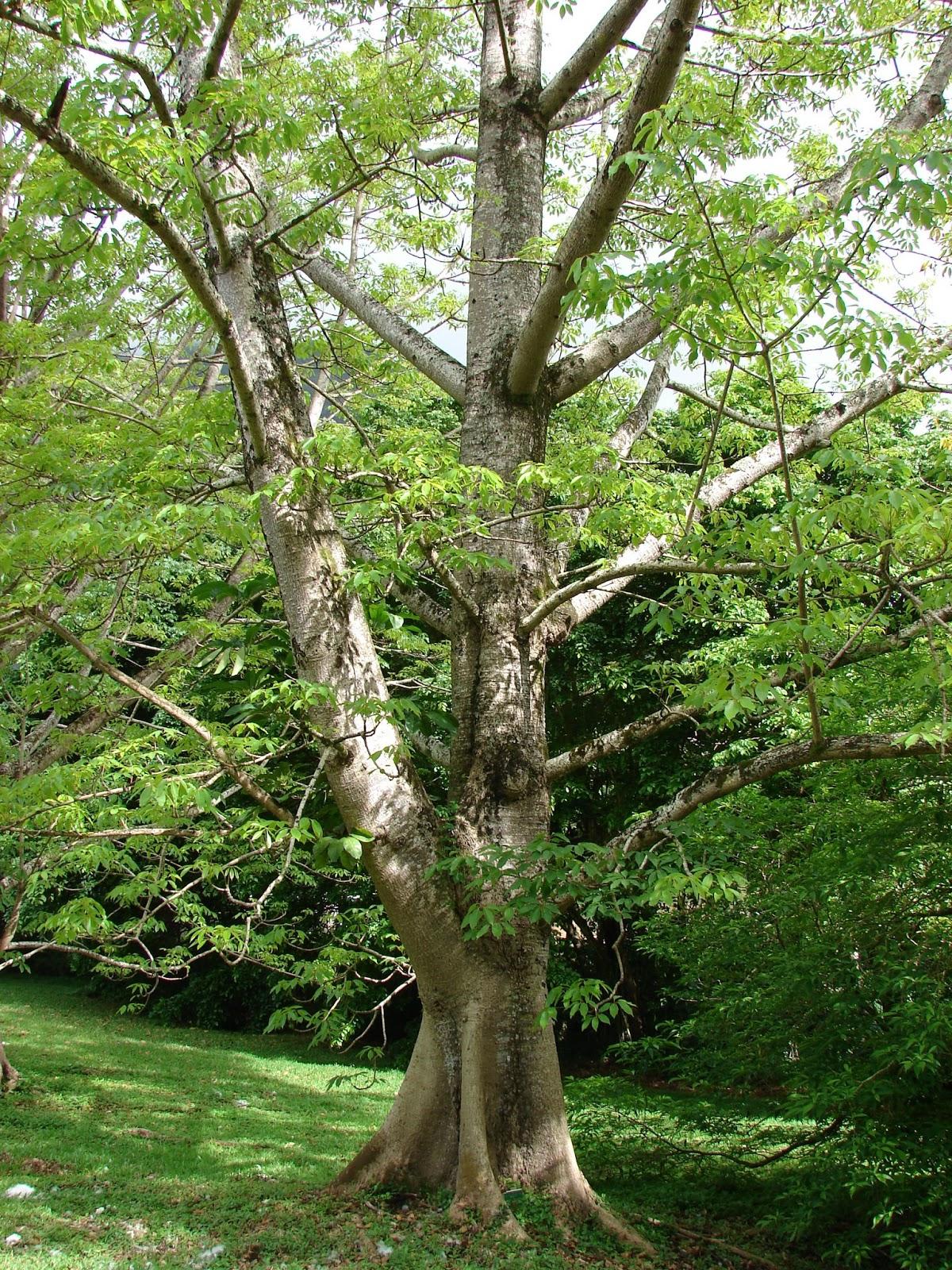 Trees Planet: Bombax ceiba - Red Cotton tree