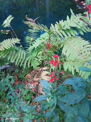cardinal flower and ferns, Mount Cuba Center
