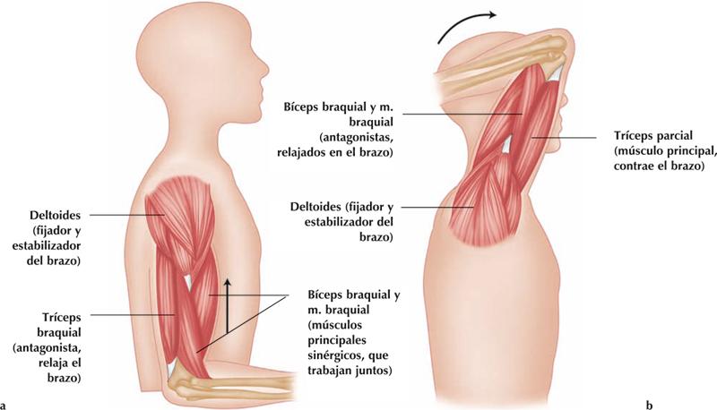 Biomecanica: Musculatura del miembro superior