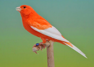 Manfaat dan Cara Pemberian Jangkrik untuk Burung Kenari