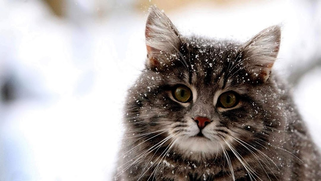 Cat hd wallpaper 9