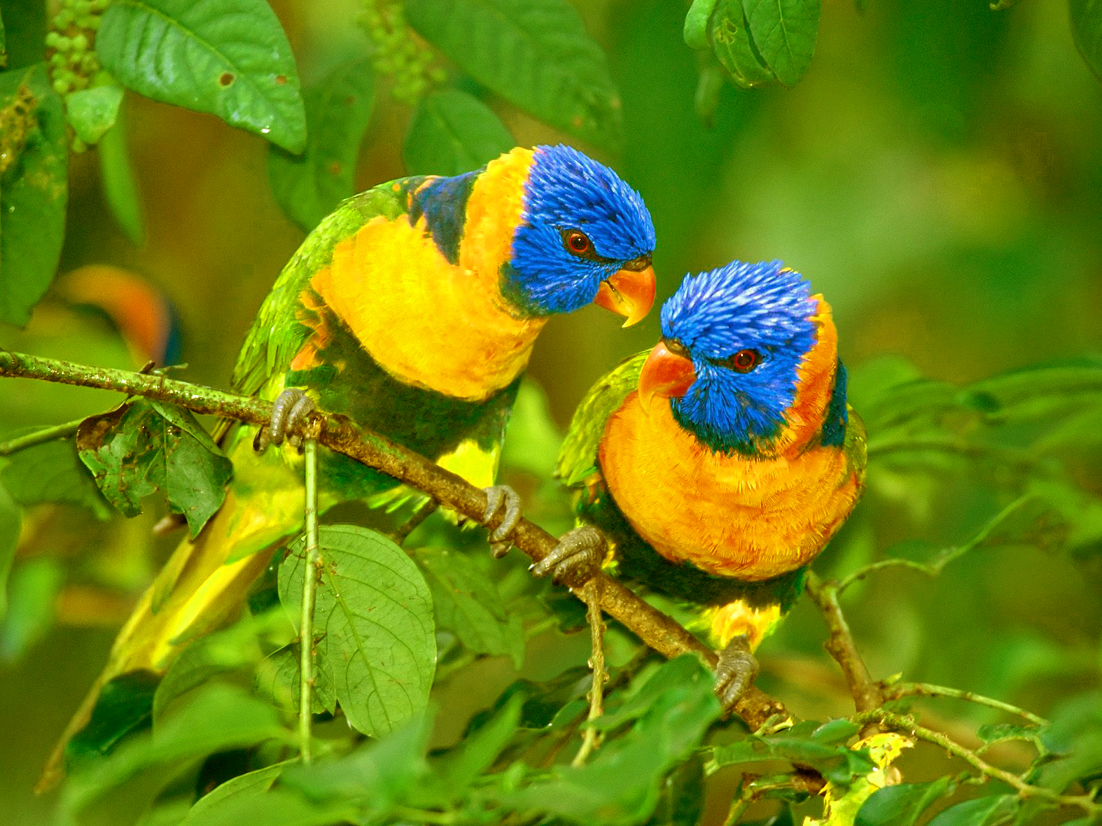 Best Love Fond Ecran Hd: Top 47 Most Dashing And Beautiful Parrot Wallpapers In HD
