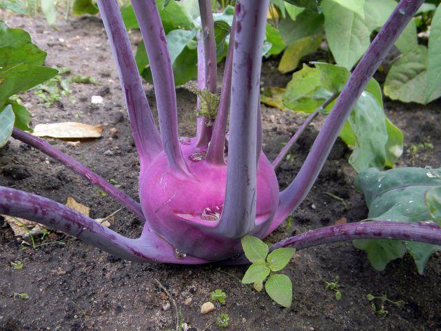 ogród, warzywa, uprawa, koło domu