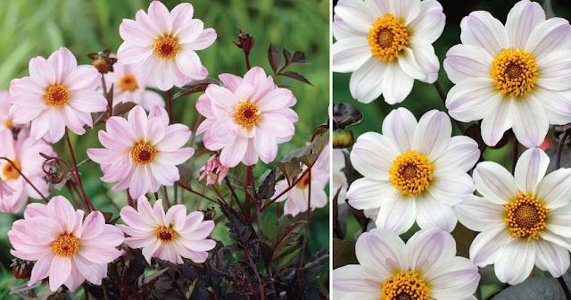 Dekor&Mentha Púder Dália Kollekció virággumó