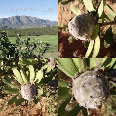 Leucadendron pubescens