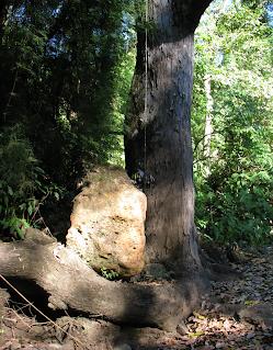 large rock and tree at Rio Viejo