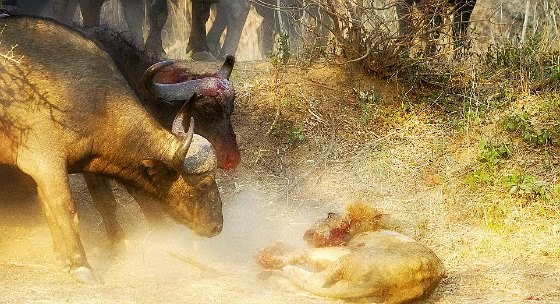 The lion finally gets defeated as the herd arrives to the buffalo's rescue giving him a fatal blow via geniushowto.blogspot.com animal encounter photos
