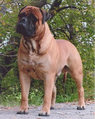 everything about your bullmastiff luv my dogs